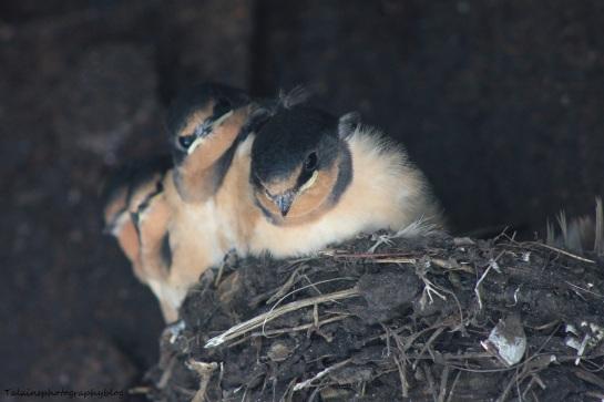 Barn Swallow 001