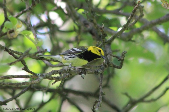 Black-throated Green Warbler 029