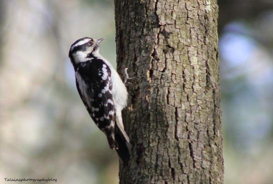 Hairy Woodpecker 005