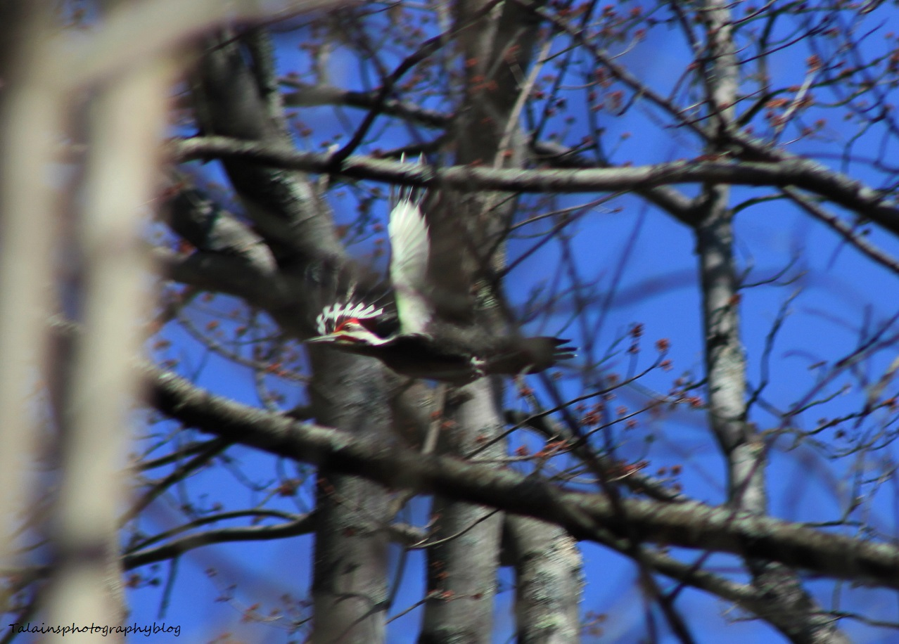 Pileated Woodpecker 007