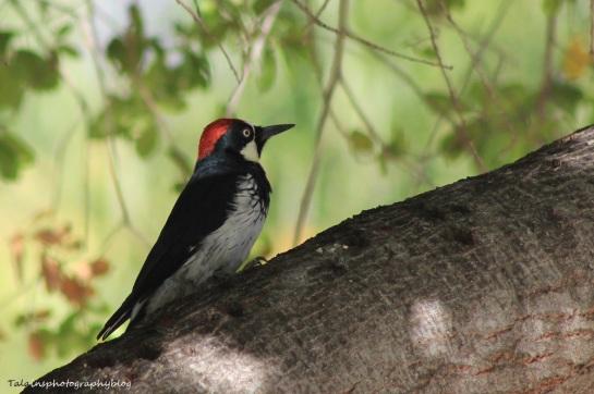 acorn woodpecker 052
