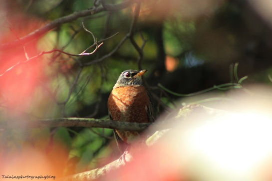 American Robin 063