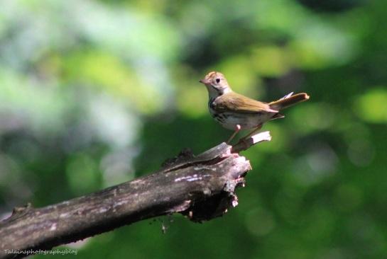 Ovenbird 02