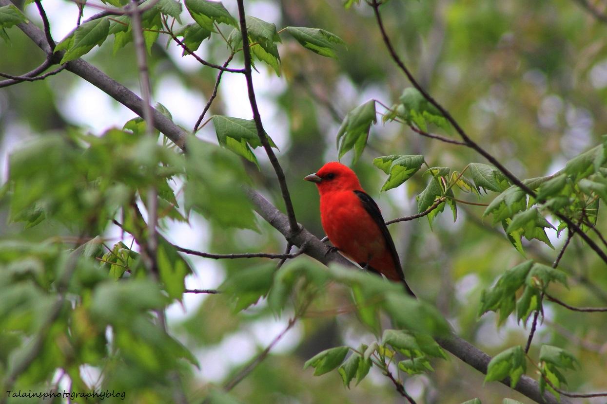 Scarlet Tanager 022