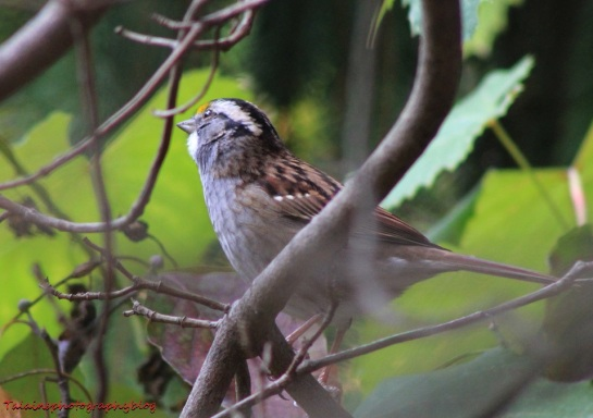 White-throughted Sparrow 06