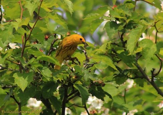 Yellow Warbler 018