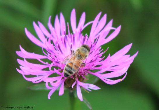 Bee & Hornets 030