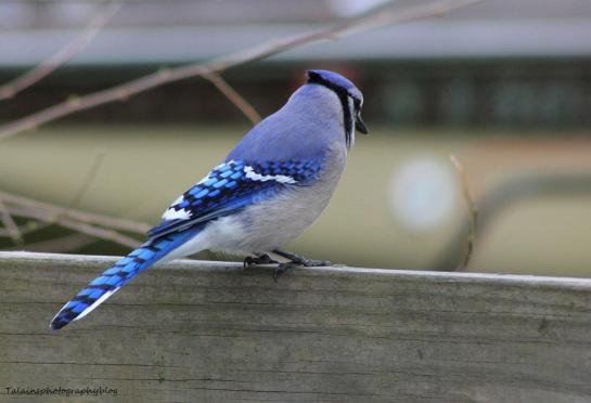 Blue Jay 013