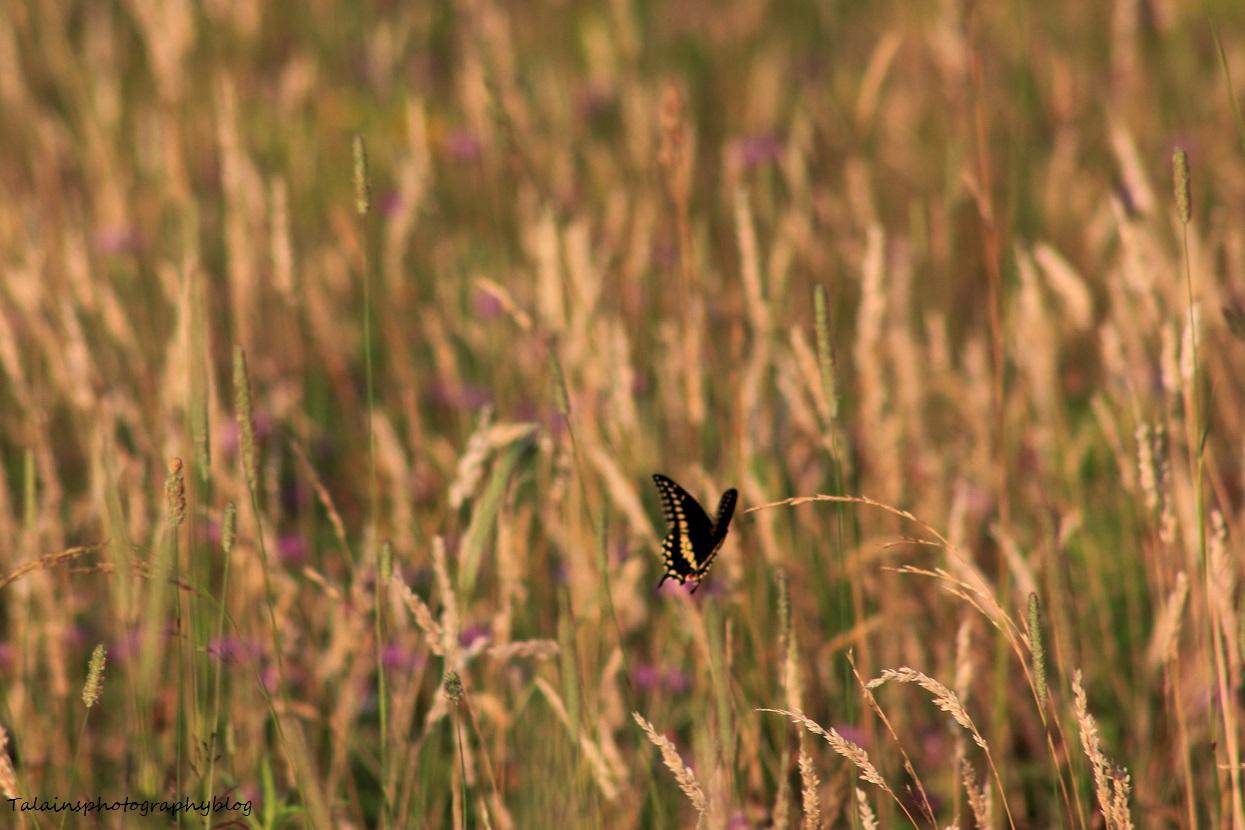 Butterfly 020