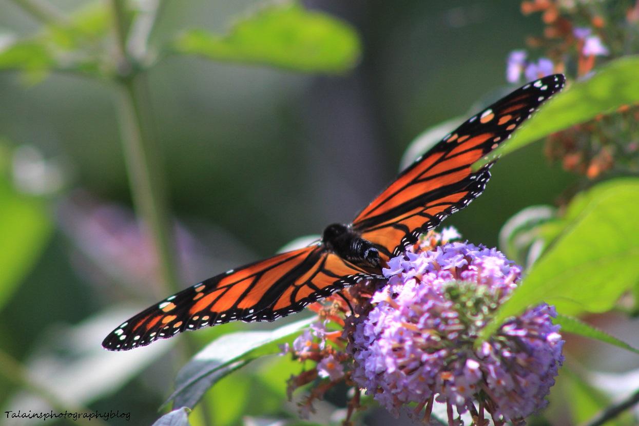 Butterfly 067