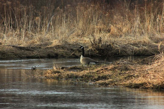 canada Geese 051