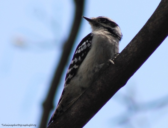 Downy Woodpecker 008