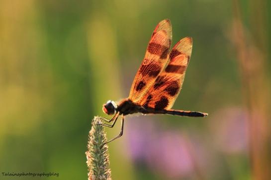 Dragonflys 010
