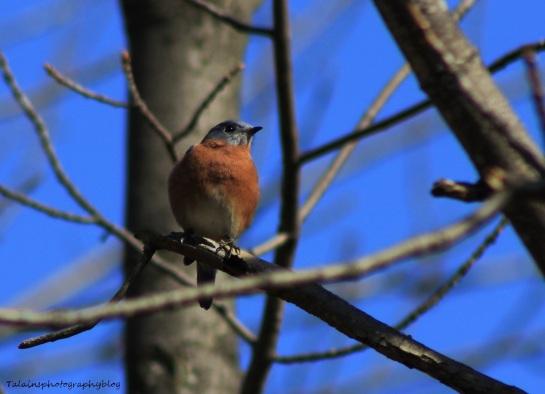 Eastern Bluebird 007