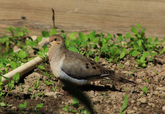 Mourning Dove 009