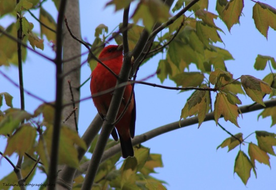 Scarlet Tanager 011