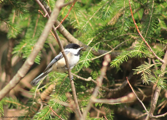 Black-capped Chickadee 018