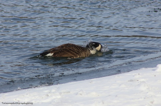 Canada Geese 020