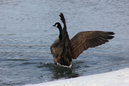 Canada Geese 025