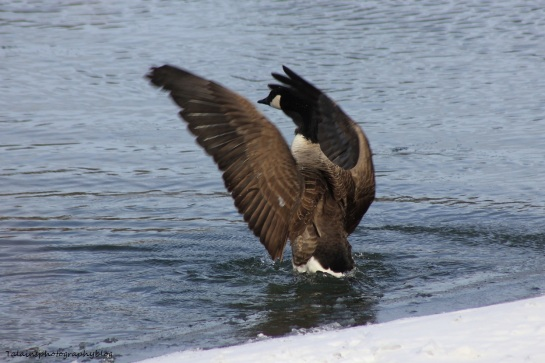 Canada Geese 026