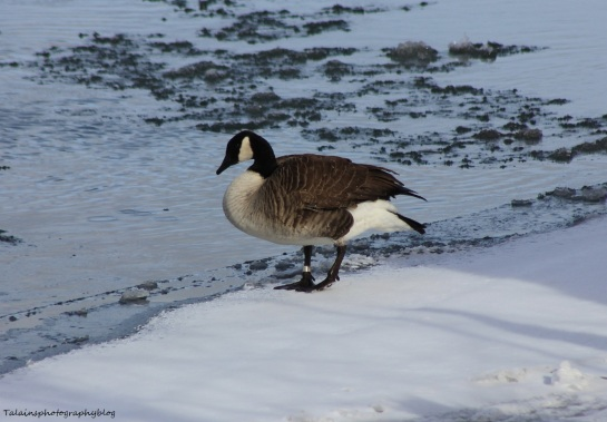 Canada Geese 027