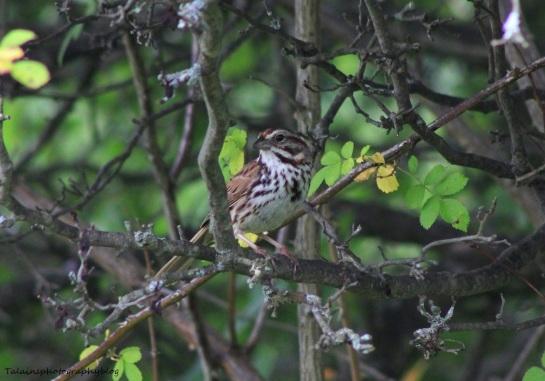 Fox Sparrow 002