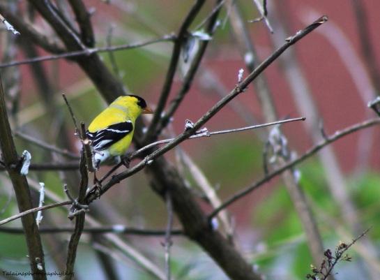 Goldfinch 006