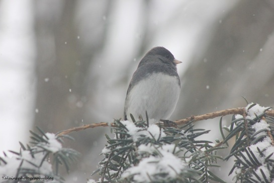 Slate-colored Junco 003