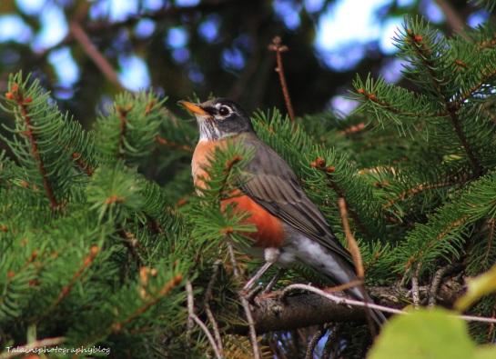American Robin 065
