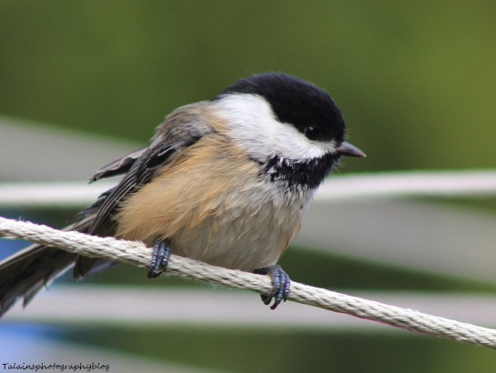 Black-capped Chickadee 036