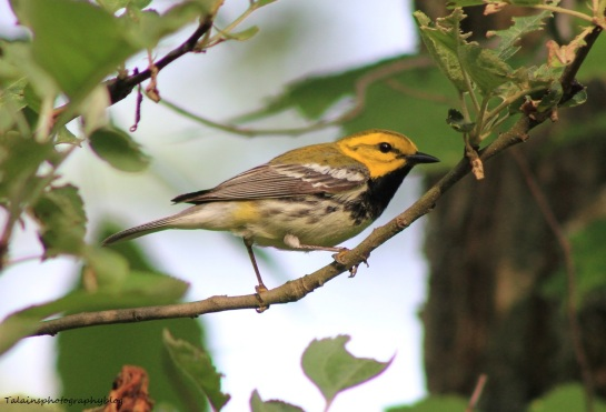 Black-throated Green Warbler 059