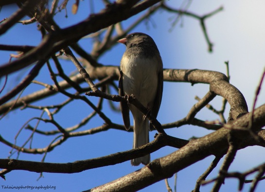 Dark-eyed Junco 001