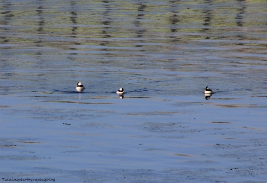 Ducks, Bufflehead 001