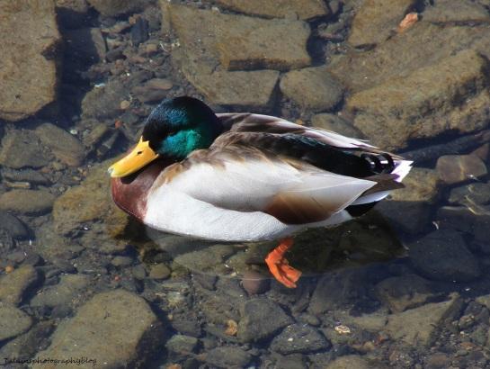 Ducks, Mallard 015