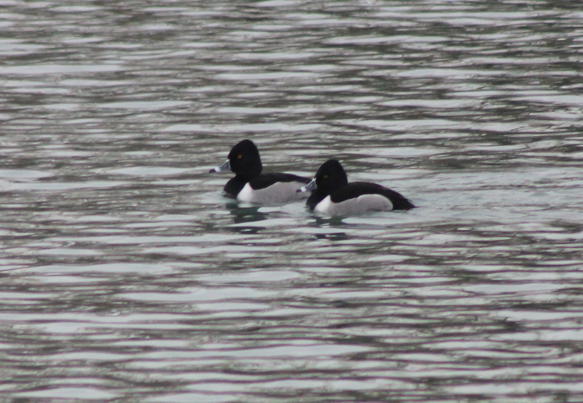 Ducks, Ring-necked 005