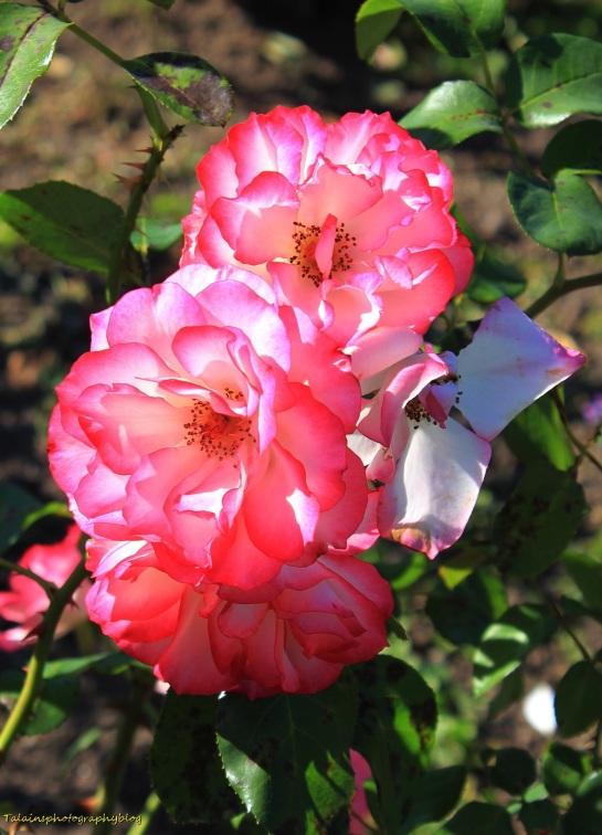 Flowers 459  Nicole