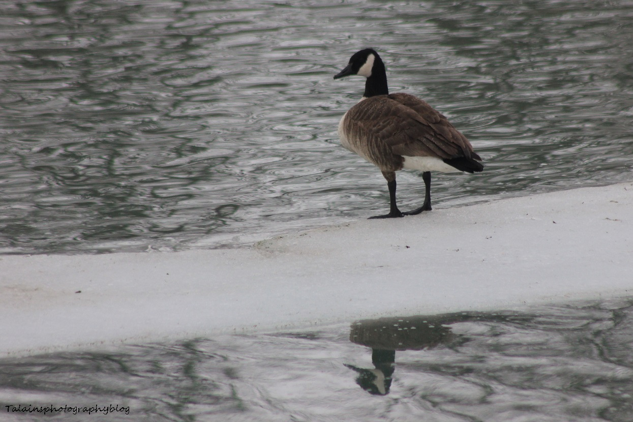 Geese, Canada 002