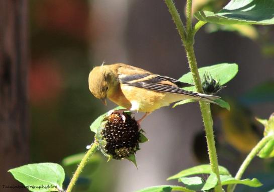 Goldfinch 021
