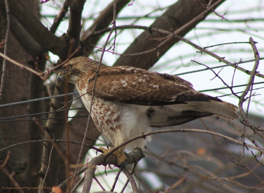 Hawk, Red-tail 004