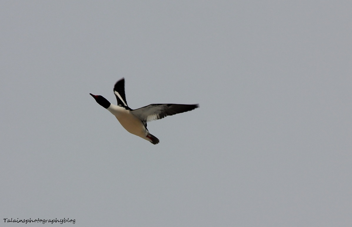 Merganser, Common 017