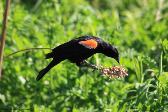 Red-winged blackbird 041