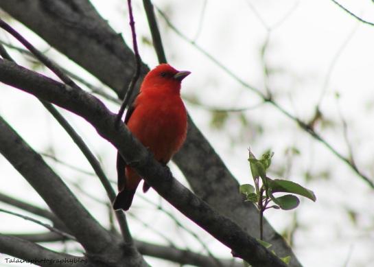 Scarlet Tanager 021