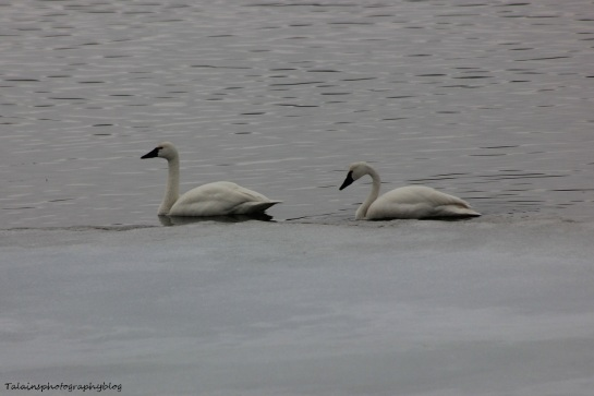 Swan, Whistling 008
