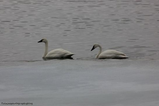 Swan, Whistling 008