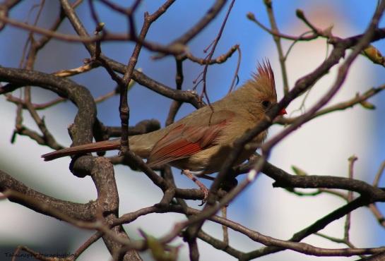 Cardinal 001
