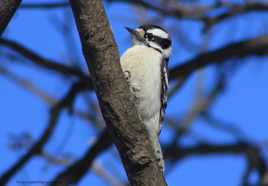 Woodpecker, Douny 003