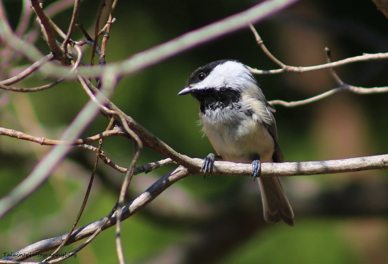 Black-capped Chickadee 002