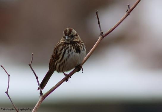 Sparrow, Song, 022