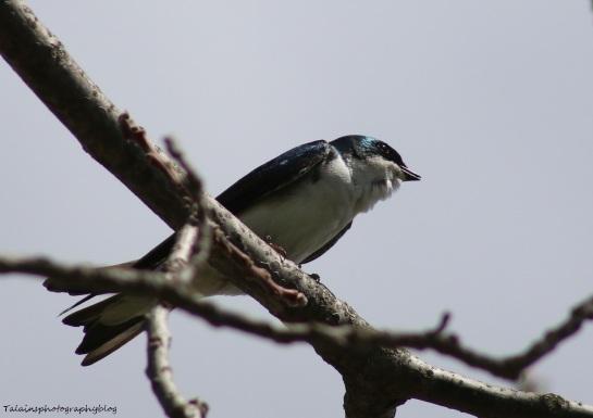 Swallow, Tree 004