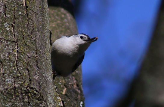 White-breasted Nuthatch 002